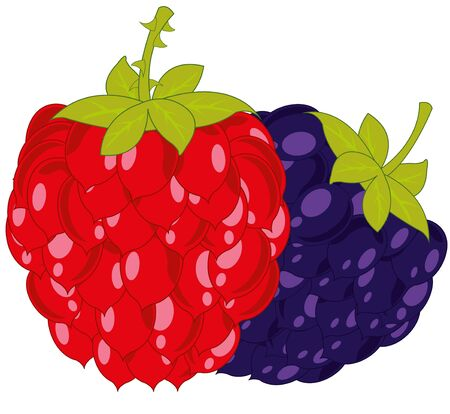 Vector illustration of the ripe berries raspberry and blackberry
