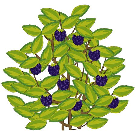 Vector illustration of the berry blackberry on bush