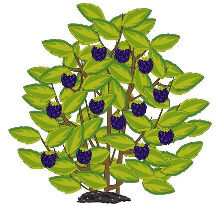 Vector illustration of the ripe berry blackberry on bush 向量圖像