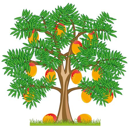 Vector illustration tree with ripe fruit mango