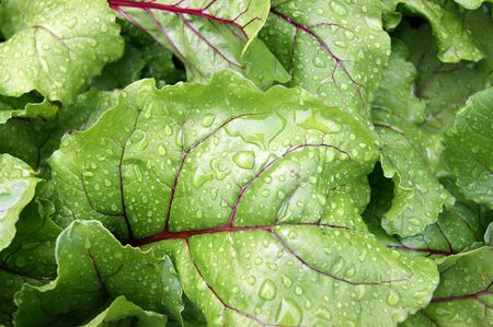 Background of the sheet of the vegetable beet