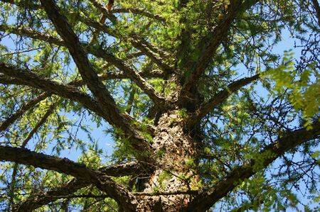 Conifere tipo larice da sotto l'anno diurno Archivio Fotografico