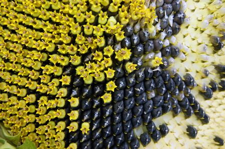 Background from ripe sunflower with seed.Ripe sunflower