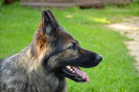 alsatian: Alsatian dog with protruding tongue on grass slide face Stock Photo