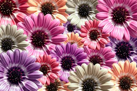 to bloom: Purple, pink illustration of background created from daisy flower bloom Stock Photo