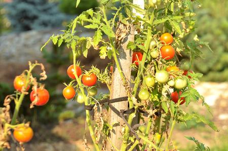 enano: tomate cherry enana en un crisol