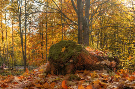 hdr background: Stump in the foreground and orange autumn trees in the background HDR Stock Photo