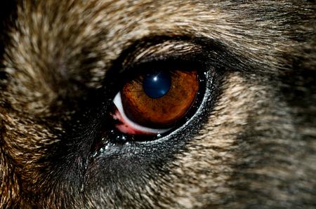 alsatian: Close-up macro detail of Alsatian dog eye