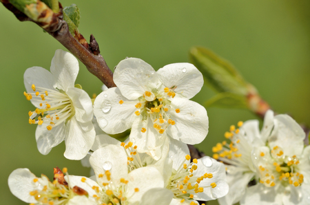 yellow blossom: Close-up detail of cherry blossom with yellow pistils and raindrops. Beautiful white cherry bud.