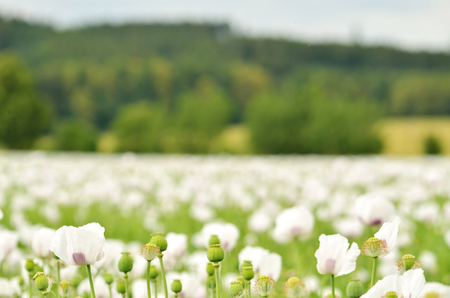Close-up of white blooming poppy field and forrest in background Foto de archivo
