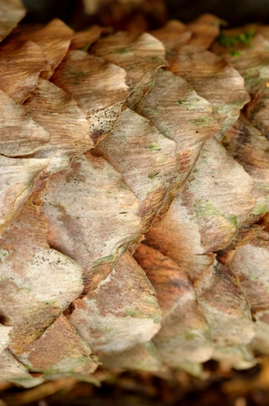 Macro texture of a dry forest cone Imagens - 123631420