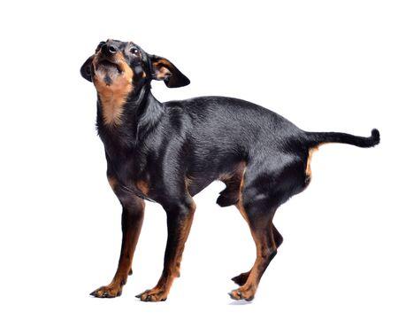 Prague ratter, miniature pinscher - czech dog isolated on white background. Studio shot. Stockfoto