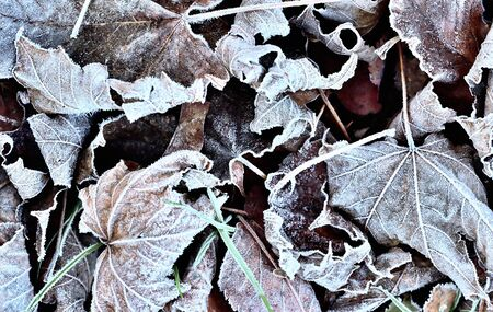 Autumn frozen leaves background with hoarfrost.