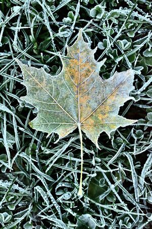 Autumn frozen maple leaf background with hoarfrost. Vertical photo.