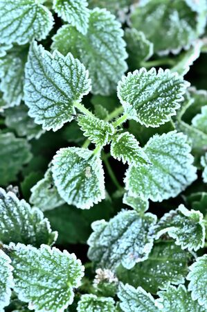 Autumn natural green frozen nettle leaves background with hoarfrost. 免版税图像