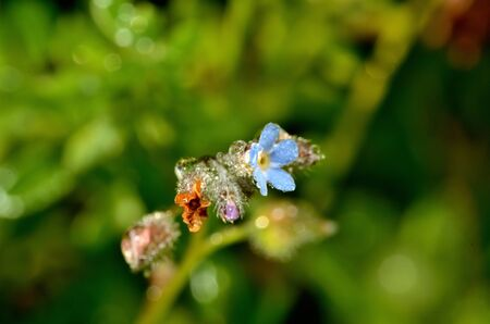 Macro of dew drops on blue spring flower 免版税图像