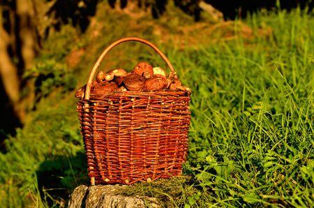 Basket full of edible mushrooms at sunset.