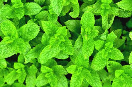 Bright fresh mint plant grow texture background. Фото со стока