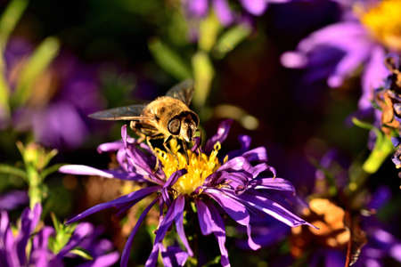 Close-up of bee pollinating Symphyotrichum oblongifolium also known as aromatic American, Fall, Wild Blue or Shale Aster.