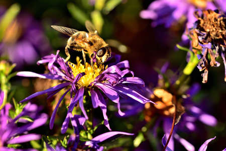 Close-up of bee pollinating Symphyotrichum oblongifolium also known as aromatic American, Fall, Wild Blue or Shale Aster
