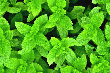 Bright fresh mint plant grow texture background. Close-up.