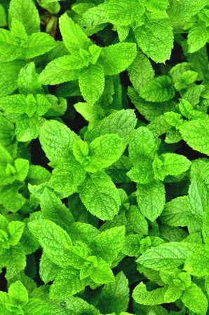 Bright fresh mint plant grow texture background. Close-up. Vertical photo. 免版税图像