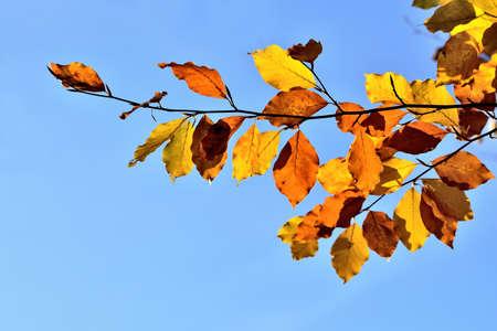 Golden autumn leaves on blue sky background. 免版税图像