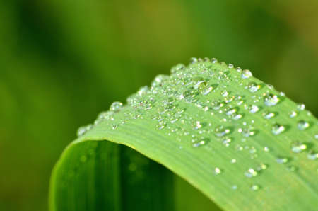 Macro of dew drops on a blade of spring grass. Low depth of field.
