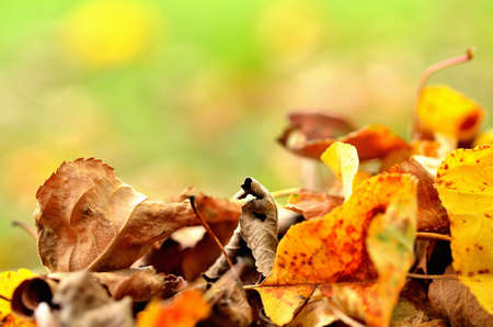 Fallen autumn leaves on grass background. Close-up.