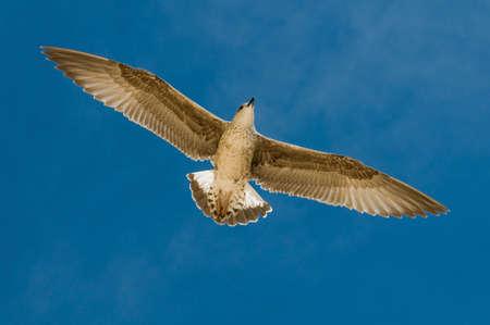charadriiformes: Seagull Stock Photo