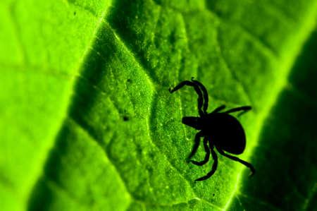 castor: Castor bean tick on the leaf. Ixodes ricinus.