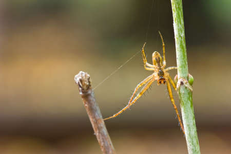 Metellina segmentata. Spider on the bush. photo