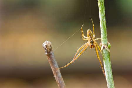 segmentata: Metellina segmentata. Spider on the bush.