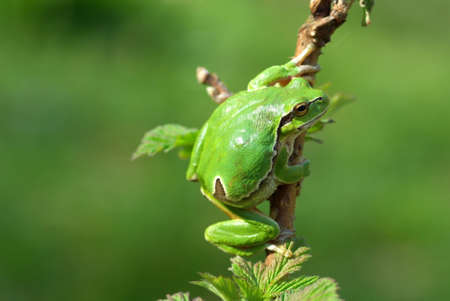hyla: Hyla arborea. Common or European tree frog in the forest.