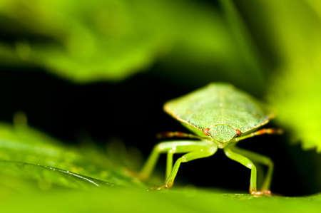 prasina: Green shield bug between the leaves. Palomena prasina. Stock Photo