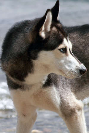 young husky waiting for the ball to catch photo