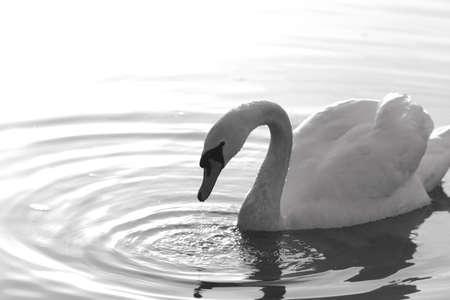 como: Swan attitude Stock Photo