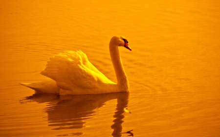 Swan & sunset Stock Photo - 10558037