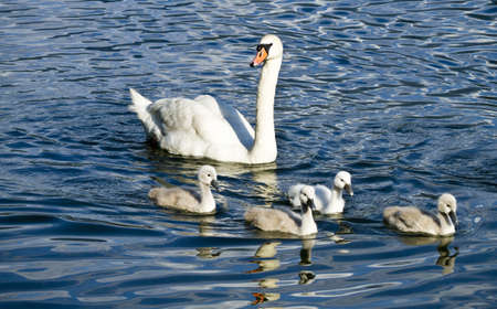 Swan & Como Lake photo