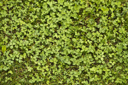 Clover Stock Photo - 10772035
