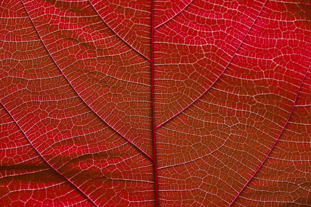 Close up on red leaf texture background
