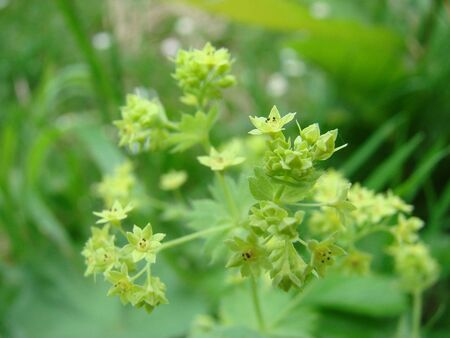 alchemilla mollis: Alchemilla Stock Photo