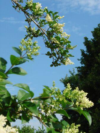 Ligustrum vulgare Stock Photo
