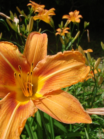 fulvous: Hemerocallis fulva Stock Photo