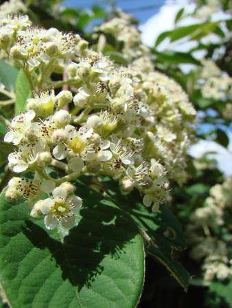 Flower of aronia