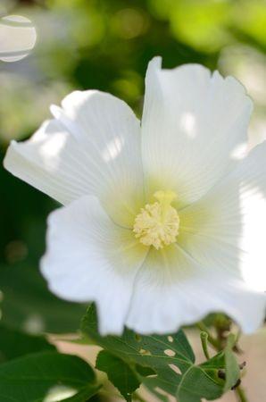 Hibiscus mutabilis  Cotton rosemallow