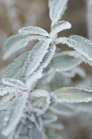 Frozen leaves, Sage Stock Photo