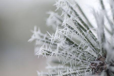 Frozen pine leaves Stock Photo