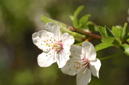 Blossom of Mirabelle plum