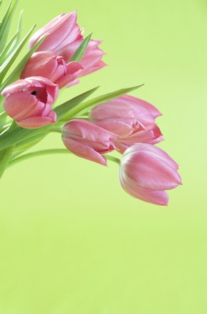 Pink tulips and light green background